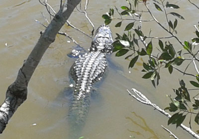 hiking alligator