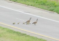 goose on road