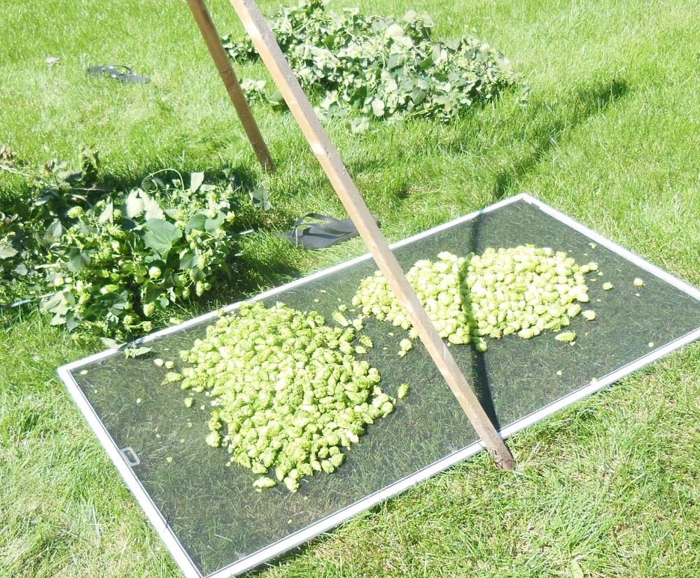 MN hop harvest