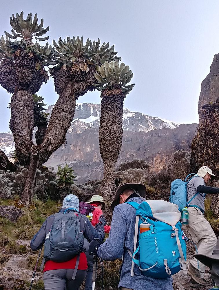 Kilimanjaro Senecio Tree