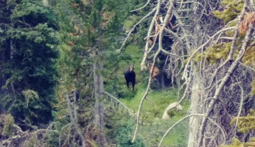 Wind River Moose